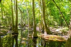 Cypress y pantano del parque nacional de Congaree en Caro del sur Fotos de archivo libres de regalías