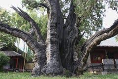 cypress 4,500-year-old i den Songyang akademin, centrala Kina Royaltyfri Foto