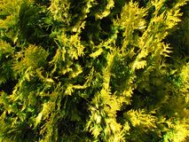 Cypress, yellow cultivar, Close-up of a needle tree, natural phototexture. A favorite garden tree stock photography