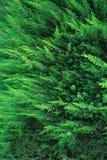Cypressbakgrund Royaltyfri Fotografi