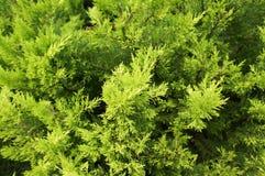 Cypressen förgrena sig i vår Royaltyfri Fotografi