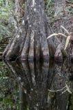 Cypressen rotar, översvämmar, den nationella sylten för den stora cypressen, Florida Arkivfoto