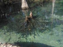 Cypressen rotar på poncen de leon Royaltyfria Bilder