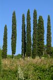 Cypresses. A few trees with blue sky royalty free stock photos