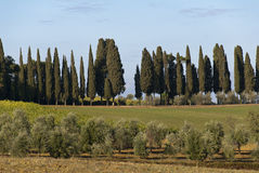 Cypresses Stock Photography