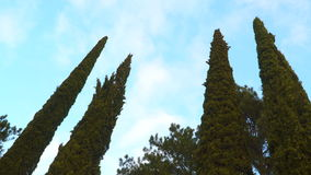 Cypresses against the sky with clouds stock video footage