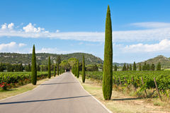 Cypresses alley through vineyards Stock Photography