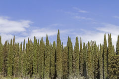 Cypresses Royalty Free Stock Photography