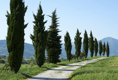 Cypresses. Calino (Bs),Franciacorta, Italy, some cypresses in a field Royalty Free Stock Image