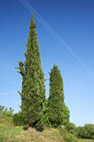 Cypresses. Calino (Bs),Franciacorta, Italy, some cypresses in a field Royalty Free Stock Images