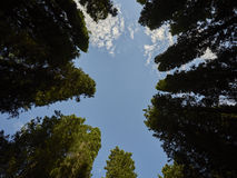Cypresses. Circle of cypresses on sky background Royalty Free Stock Image