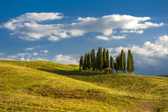 Cypresses. Group of cypresses in the hills of Tuscany Royalty Free Stock Images