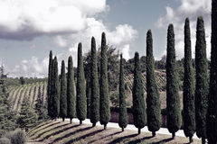 Cypresses Royalty Free Stock Images