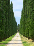 Cypresses. Italy. Tivoli in a sunny day Stock Images