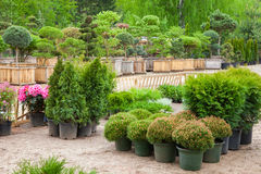 Cypresses plants in pots bonsai plants on tree farm Royalty Free Stock Image