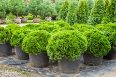 Cypresses plants in pots on nursery. Cypresses plants in pots on tree farm Royalty Free Stock Photography