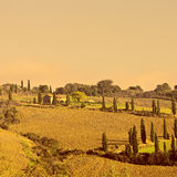 Cypresses Royalty Free Stock Image