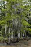 Cypresses in the swamps. Royalty Free Stock Photos