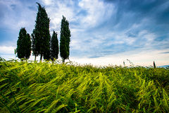 Cypresses in Tuscany Stock Images