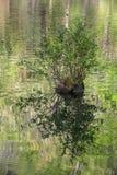 Cypressknä i berggaffelfloden, Oklahoma Arkivbild