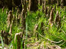 Cypressknä som växer i grönt gräs, Congaree nationalpark royaltyfria bilder