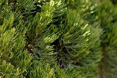 cypressleaves Royaltyfria Foton