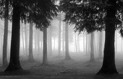 Cypressskog med dimma i svartvitt Royaltyfri Fotografi