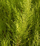 Cypressträd Arkivbilder