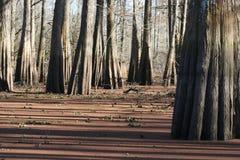 Cypressträd Royaltyfri Foto