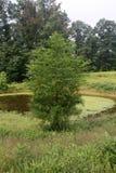Cypressträd Royaltyfria Bilder