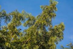 Cypressträd Royaltyfri Fotografi