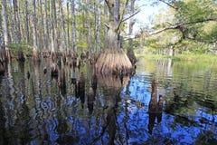 Cypressträd av Fisheating liten vik, Florida arkivbilder