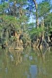 Cypressträd Fausse Pointe i för flodarmen, sjö delstatspark, Louisiana Arkivbilder