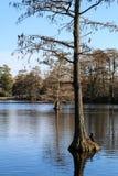 Cypressträd i en svart vattensjö Arkivbilder