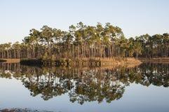 Cypressträd i Evergladesnationalparken Arkivfoto