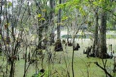 Cypressträd i grönsallat sjön Royaltyfri Foto