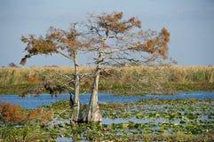 Cypressträd och lilypads Royaltyfri Foto