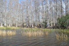 Cypressträd på sjön Arkivfoto