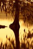 Cypressträd som draperas med mossa i South Carolina Arkivfoton