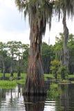 Cypressträd som sloggs av blixt i AtchafalayaSwamp i Henderson Louisiana Royaltyfria Foton
