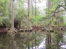 Cypressträd som växer i vått träskland Arkivfoton