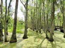Cypressträd som växer i vått träskland Arkivfoto
