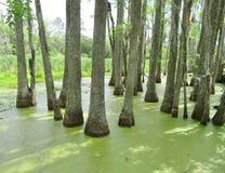 Cypressträd som växer i vått träskland Arkivbild