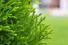 Cypressträdet lämnar makro Arkivbild