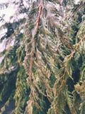 Cypressträdfilialer som täckas med djupfryst is royaltyfri bild