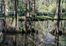 Cypressträsk i South Carolina, USA arkivfoton