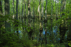 Cypressträsk, Natchez spår, ms Royaltyfri Bild