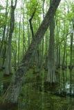 Cypressträsk, Natchez spår, ms Royaltyfri Fotografi