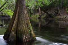 cypresstree Arkivfoto