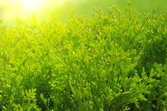 cypresstree Arkivbild